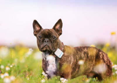 tractive gps dog tracker french bulldog 400x284 - Tractive GPS