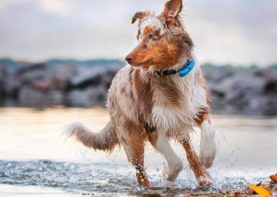 dog-tracker-maru
